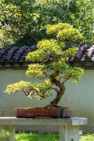 Bonsai tree in sun light in China, Chengdu, Sichuan province, China Stock fotó