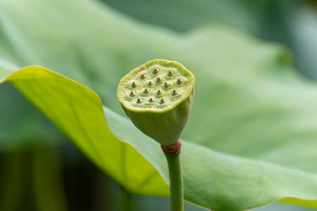 Lotus pod against green leaves in China