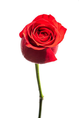 Red rose flowerclose-up view isolated on white background 免版税图像