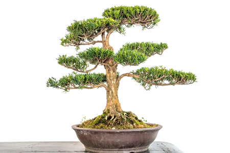 Bonsai tree in a pot close-up view against white wall