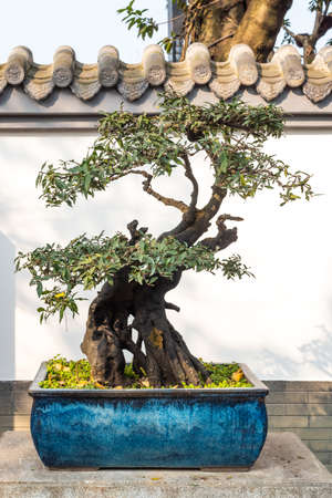 Bonsai tree in a blue pot close-up view against white wall