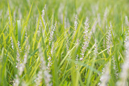 High grass selective focus close-up view in Chengdu, Sichuan province, China