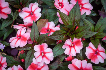 Impatiens balsamina flowers close up in a park in Chengdu, Sichuan province, China
