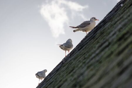 Seagulls on the roof of a cabin during a winter morning Banco de Imagens