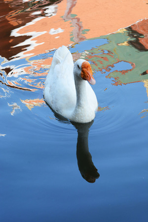 A white goose swimming on the river lopburi and The Temple of the Shadow photo