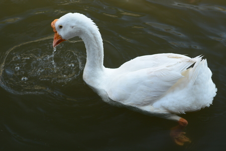 A white goose swimming on the river lopburi photo
