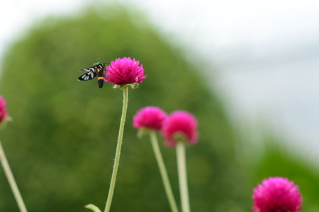 Clear-winged moth on globe amaranth or bachelor button flower in public park in Thailand photo