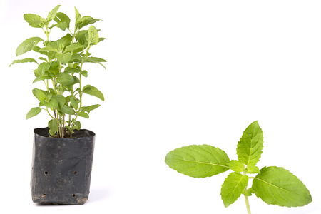 Holy Basil, Ocimum sanctum on white background, sprouts in a plastic pot