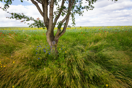 buttercups: Tree at the edge of the field