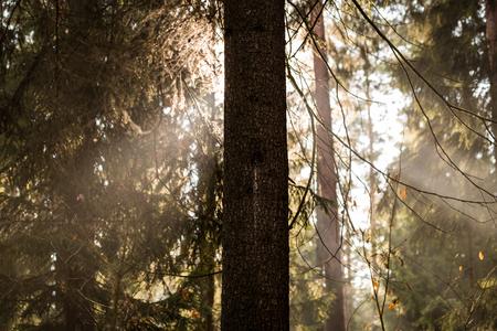 가문비 나무 뒤에 햇빛