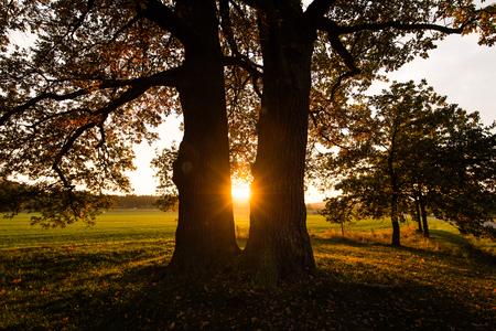 feld: Oaks in the sunset Stock Photo