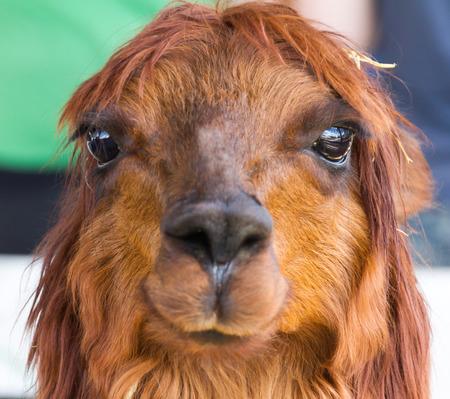 bad hair day: Alpaca