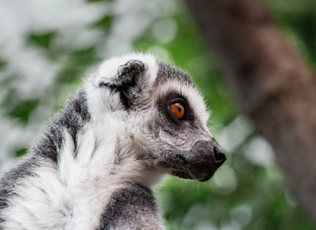dominant color: An alert lemur watching something Stock Photo