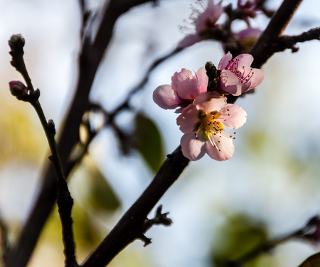 The blossoms of a peach tree