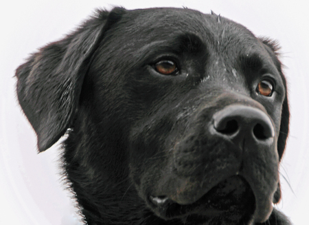 a righteous person: The head of a black Labrador Retriever Stock Photo