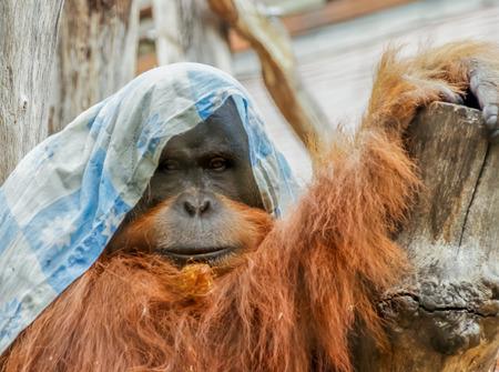 seemingly: A seemingly bored orangutan with his rag