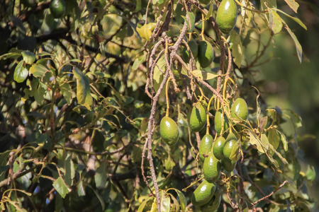 dominant color: A bunch of green, unripened avocados in the tree Stock Photo