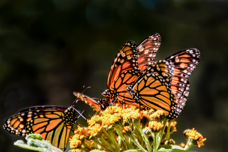 milkweed butterfly: Monarch butterflies feeding on a milkweed flower during their Winter migration in the butterfly sanctuary in Mexico. Stock Photo