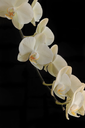 cream colored: Cream colored flowers of an orchid with a black background