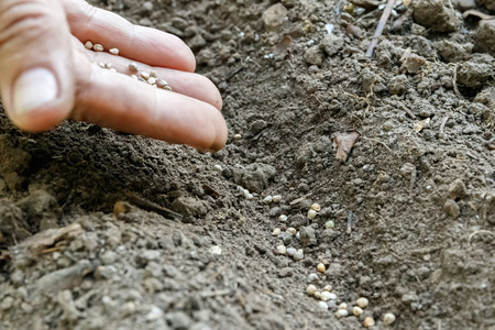 A womans hand sowing carrot seeds in the garden