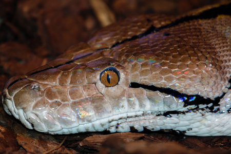 constrictor: The head of a boa constrictor Stock Photo