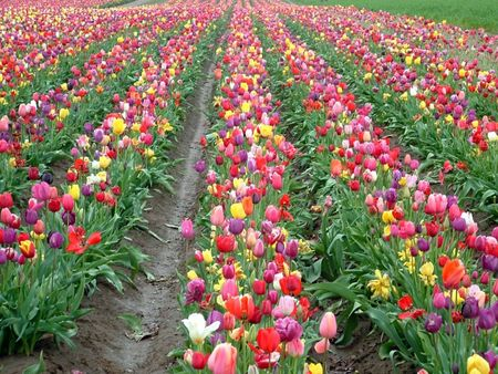 Tulip Rows Banco de Imagens