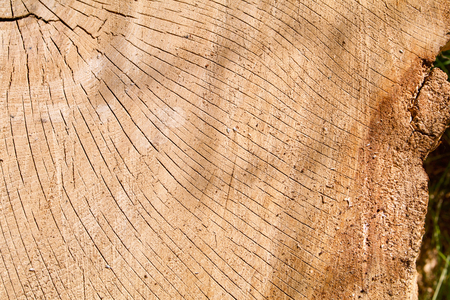 Oak log section with cracks Stock Photo
