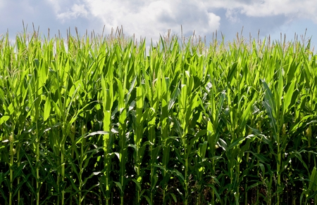 성장하는 옥수수 배경