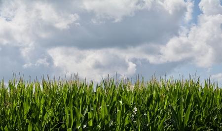 two and two thirds: Growing Corn Background Two Thirds Sky Stock Photo