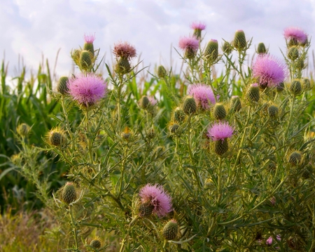 Thistle blossoms and sky Stock Photo