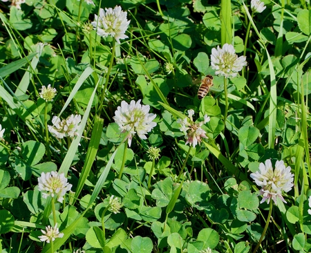 Honey Bee and Clover