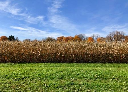 Autumn corn waiting for harvest