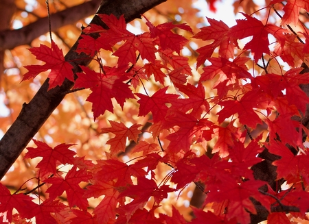 Red maple leaves against the gold Standard-Bild