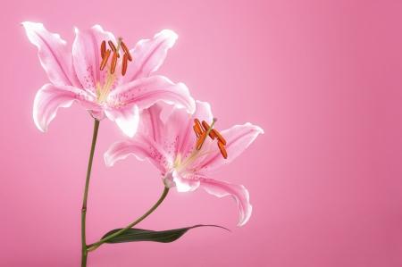 Pink lirio en fondo rosado punto de luz
