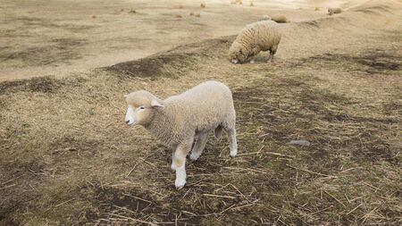 The lovely sheep is walking on the land.