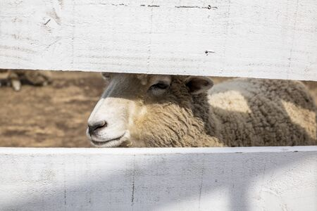 The lovely sheep is looking through the fence.