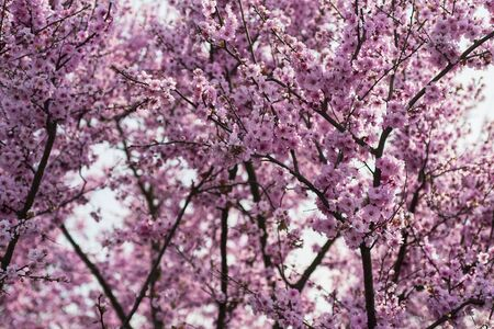 blooming cherry blossoms over the sky. Pink flowers.