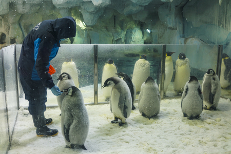Zhuhai, China, November, 2018. Breeders is feeding the emperor penguins, is the tallest and heaviest of all living penguin species and is endemic to Antarctica.