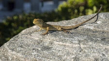 A lizard is standing on the rock in the garden.