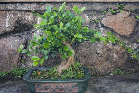 The bonsai in the Bonsai Garden at Fairylake Botanical Garden 版權商用圖片