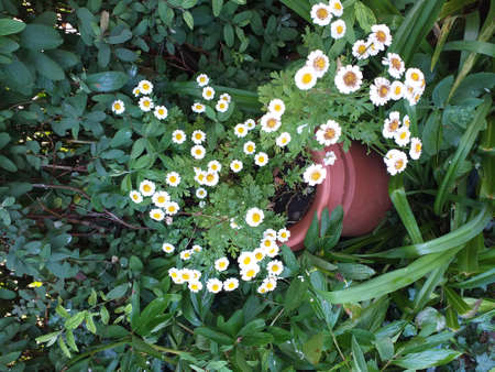 A large garden container with feverfew growing inside. Feverfew is like small daisies but with many growing on one stem