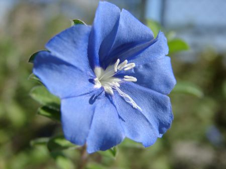 White Pollen Grains of a blue flower Imagens