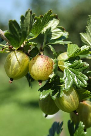 Ripe gooseberries on a branch in summer.