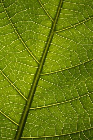Green leaf texture, organic background. photo