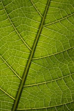 Green leaf texture, organic background.