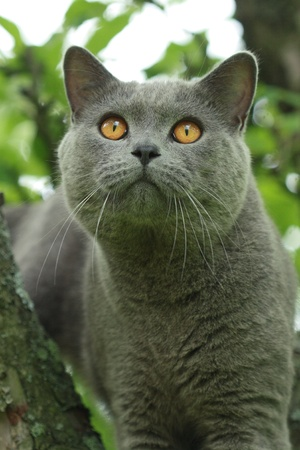 Blue british short-hair cat on a tree  Stock Photo