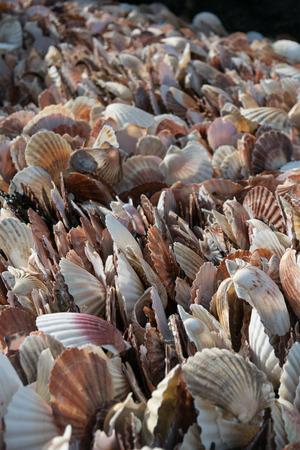 heap: Shell, Scallop in heap