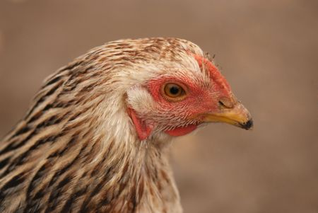 closeup of brown hen head on brown soil, side view