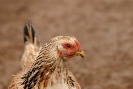 brown hen head with dirty beak on brown soil Stock Photo