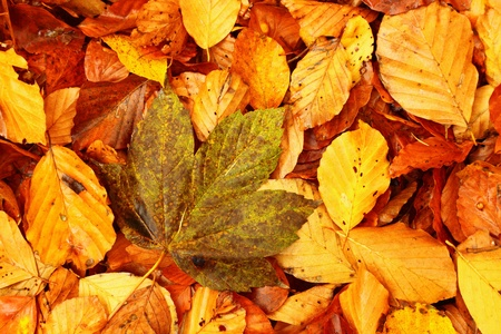 autumn colours in forest leaf, Poland, Europe  Stock Photo